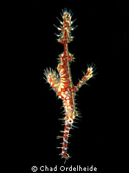 My donation to the many Ghost Pipefish photos. Canon A640... by Chad Ordelheide